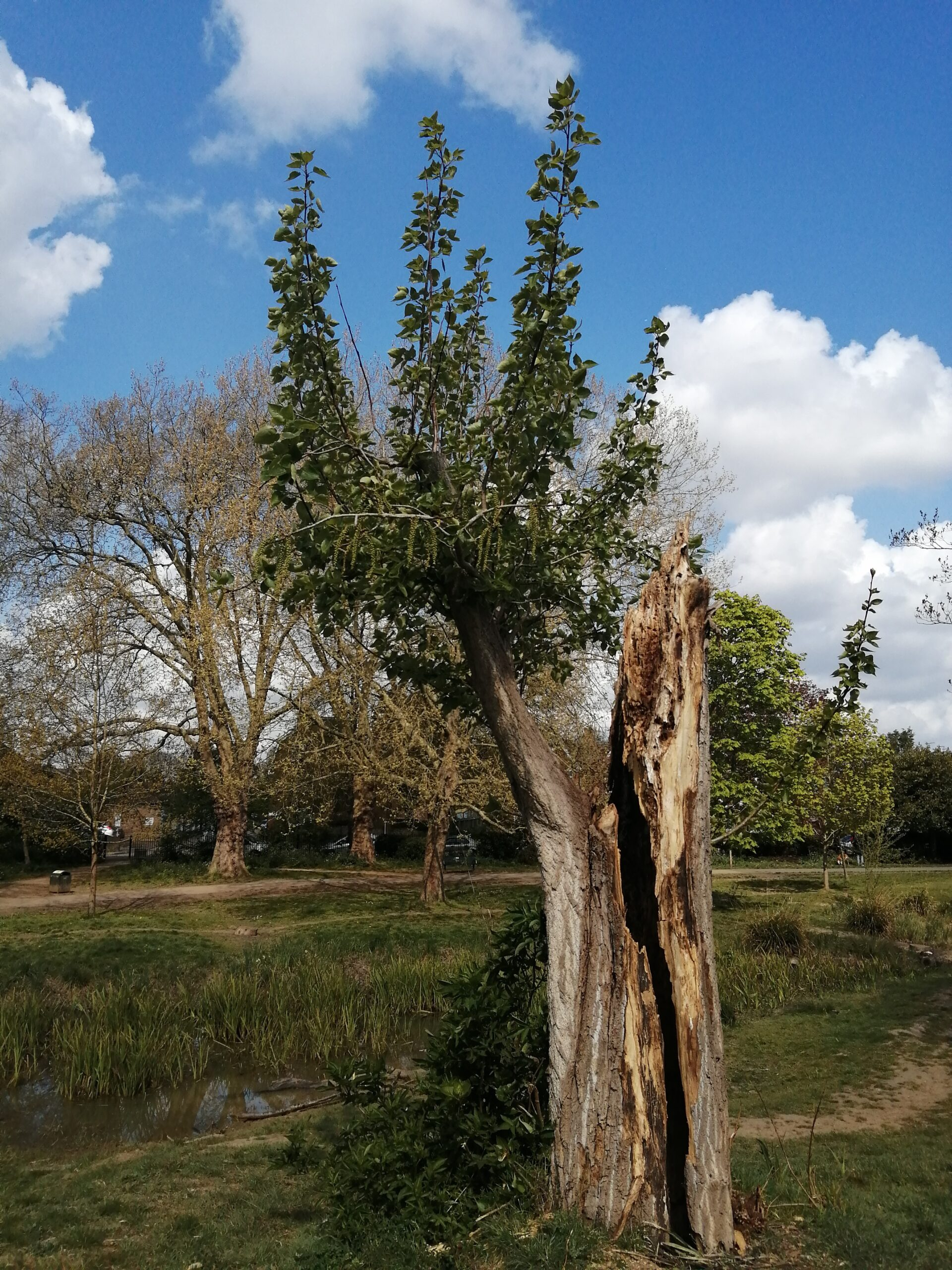 This is my favourite tree in Lammas Park. It was hurt. It healed and carries a scar. It has new life. This tree gives me hope and joy. It is a metaphor for survival, change and moving forward